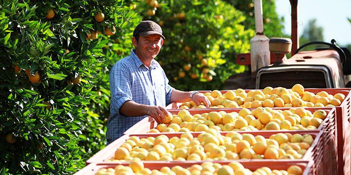 Harvesting oranges